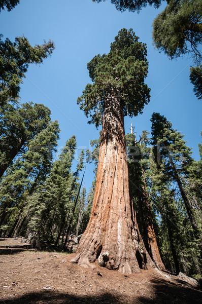 Wysoki sekwoja drzewo parku niebo drewna Zdjęcia stock © weltreisendertj