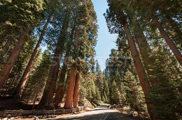 Sekoya ağaç sokak park Kaliforniya gökyüzü Stok fotoğraf © weltreisendertj