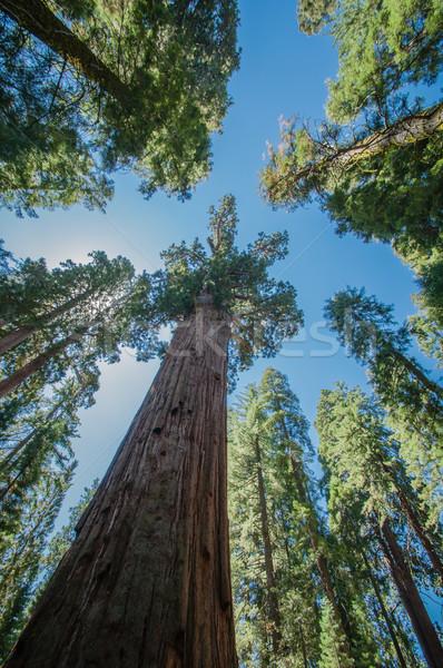 Sekwoja Błękitne niebo parku California wygląd przed Zdjęcia stock © weltreisendertj