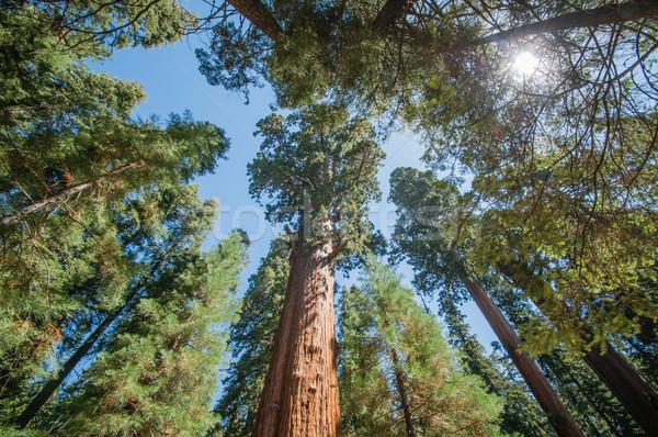 Sekwoja parku duży drzew wygląd przed Zdjęcia stock © weltreisendertj