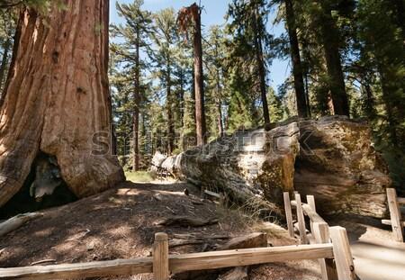 bole Sequoia Stock photo © weltreisendertj