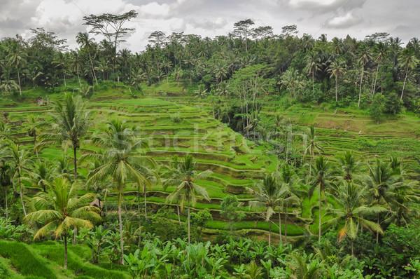 Bali ricefield  Indonesia Ubud Bali Stock photo © weltreisendertj