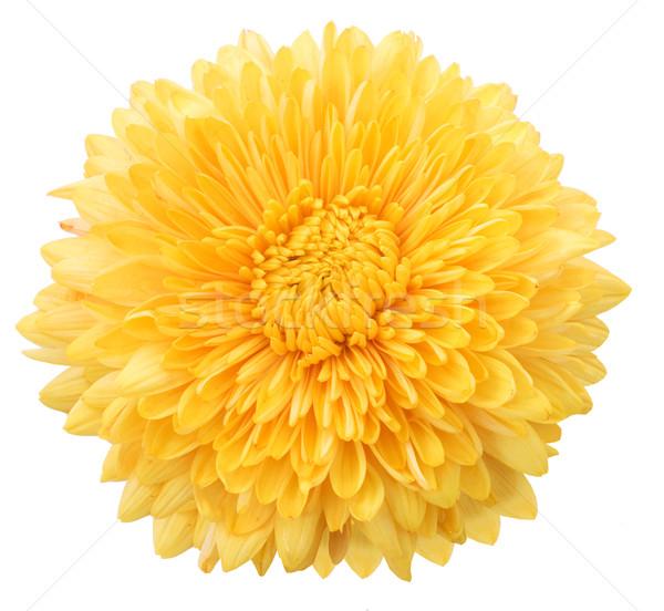 Sarı dalya beyaz çiçek güzellik bitki Stok fotoğraf © Wikki
