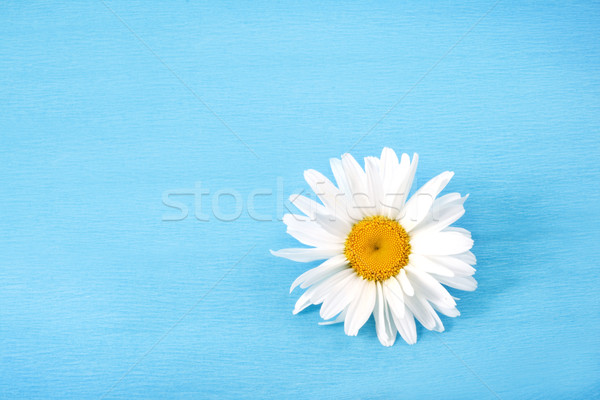 Witte madeliefjes Blauw natuur zomer daisy Stockfoto © Wikki