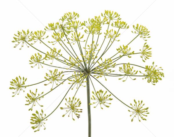 Koper kwiat biały wiosną charakter lata Zdjęcia stock © Wikki