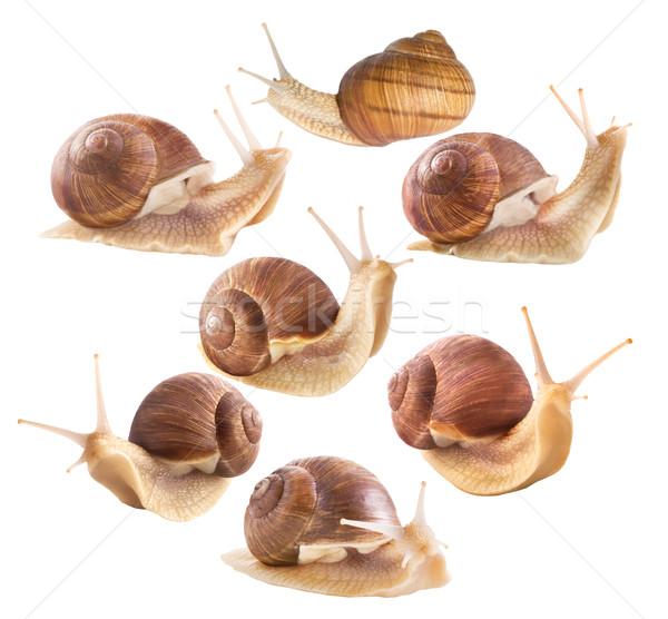 Edible snails on a white background Stock photo © Wikki