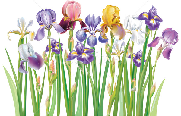 Frontera iris flores flor verano color Foto stock © Wikki