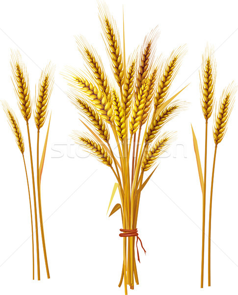 Spike of wheat Stock photo © Wikki