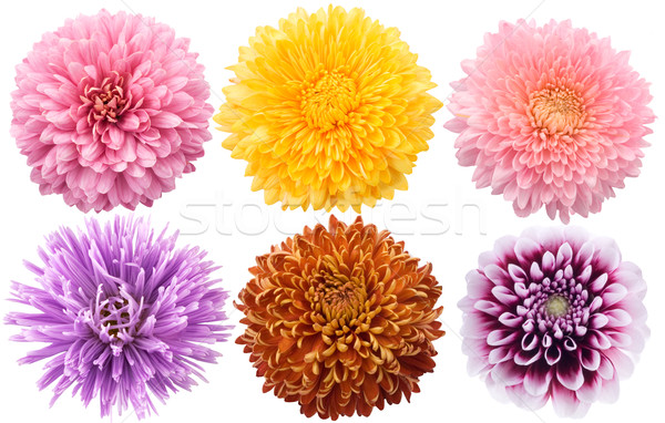 Set of dahlia flowers in different color on a white background Stock photo © Wikki