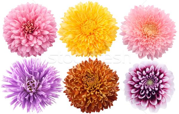 набор георгин цветы различный цвета белый Сток-фото © Wikki