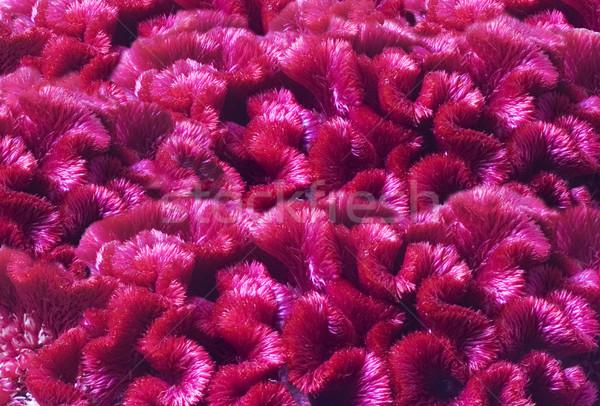 Bloemen bloem textuur natuur zomer roze Stockfoto © Wikki