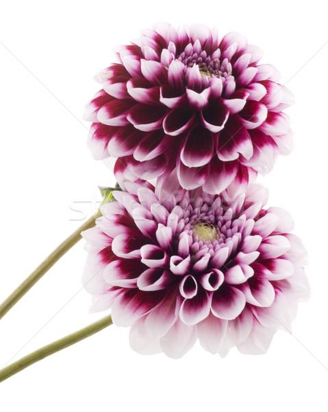 Purple георгин цветок зеленый завода белый Сток-фото © Wikki