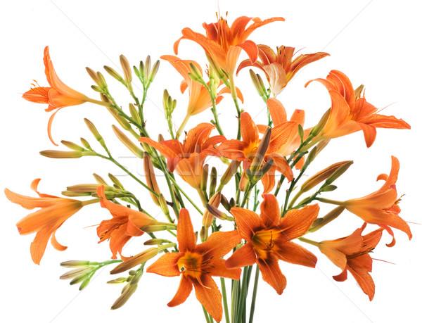 Bunch of orange Lilly on white background Stock photo © Wikki