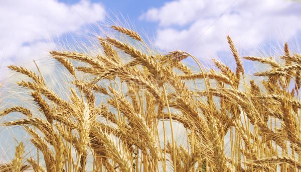 Wheaten field and the blue sky Stock photo © Wikki