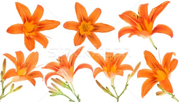 Orange Lilly on white background Stock photo © Wikki