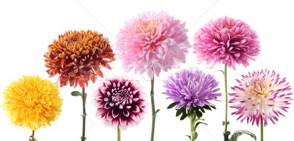 Stock photo: Set of dahlia flowers