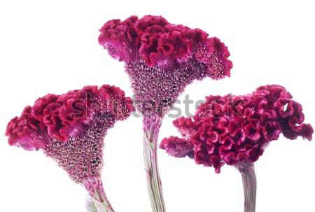 Bloem zomer plant evenement groei paars Stockfoto © Wikki