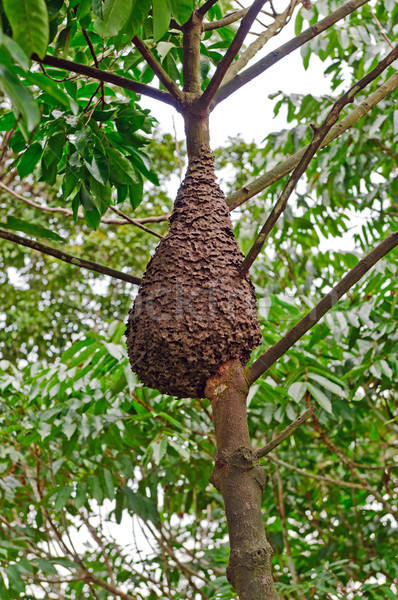 Termite Nest in the Rain forest Canopy Stock photo © wildnerdpix