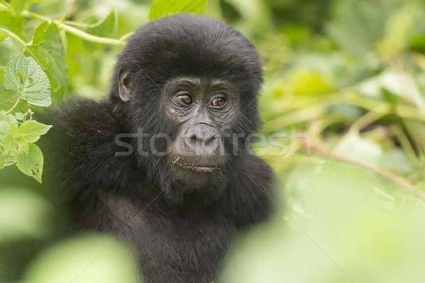 Jonge berg gorilla bos afrika biologie Stockfoto © wildnerdpix