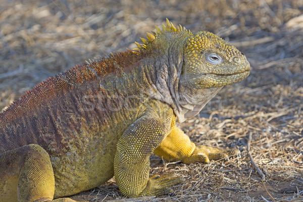 Arazi iguana ada hayvan biyoloji Stok fotoğraf © wildnerdpix