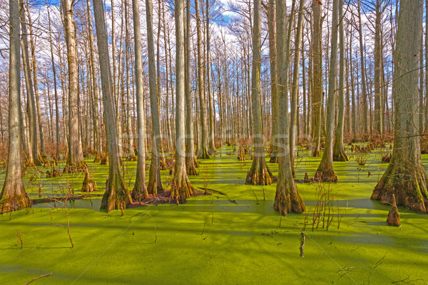 Mystical Colors in a Cypress Swamp Stock photo © wildnerdpix