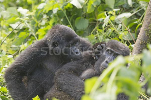 Górskich goryl inny grupy Afryki przyjaźni Zdjęcia stock © wildnerdpix