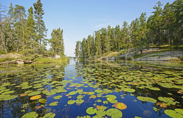 Lily Pads in a North Woods Lake Stock photo © wildnerdpix