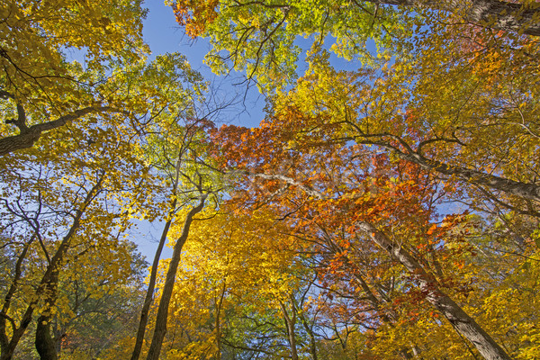 Under a Colorful Fall Canopy Stock photo © wildnerdpix