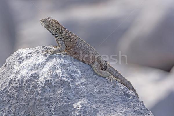 Male Lava Lizard on a Rock Stock photo © wildnerdpix
