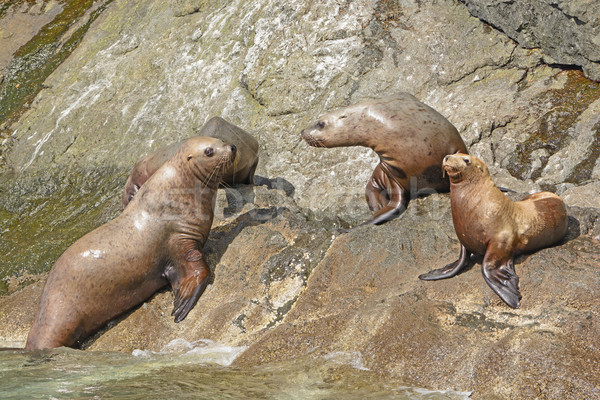 Stellar Sea Lions on a Rocky Coast Stock photo © wildnerdpix