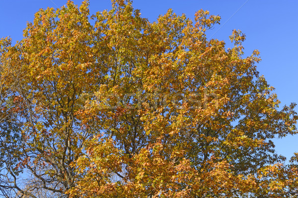 Oak Tree in Falll Color Transition Stock photo © wildnerdpix