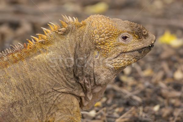 Land Iguana on the Galapagos Island Stock photo © wildnerdpix
