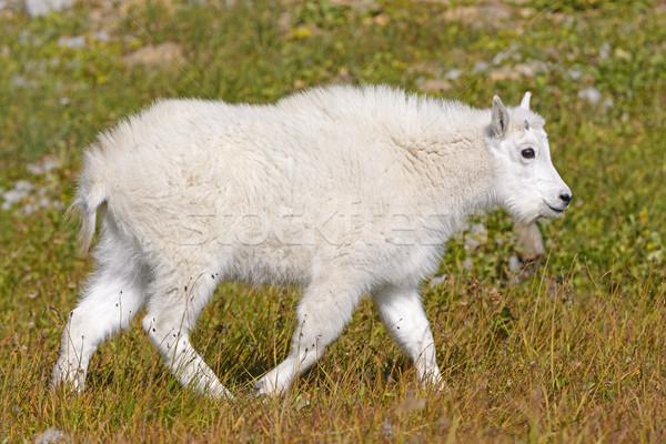 Bebê montanha cabra alpino prado escondido Foto stock © wildnerdpix