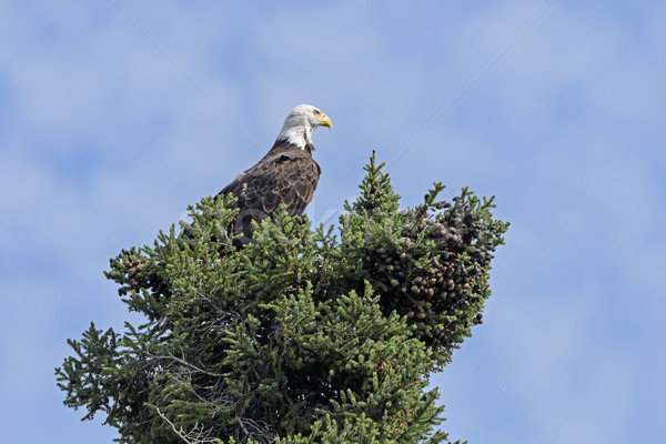 Watchful Bald Eagle in a Tree Stock photo © wildnerdpix