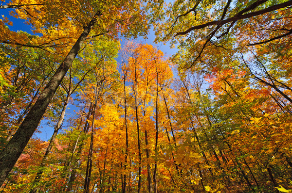 Autumn Colors in the Forest Stock photo © wildnerdpix