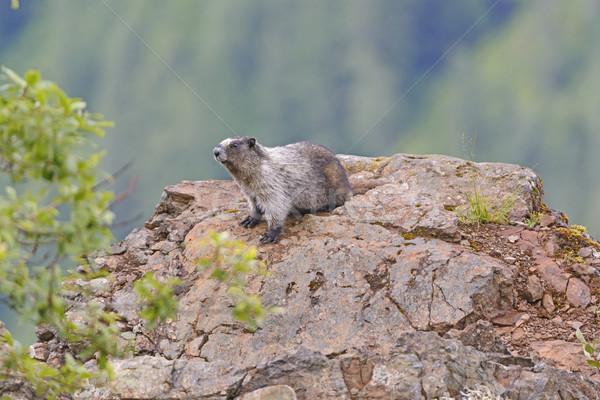 Hoary Marmot on a Mountain Outcrop Stock photo © wildnerdpix