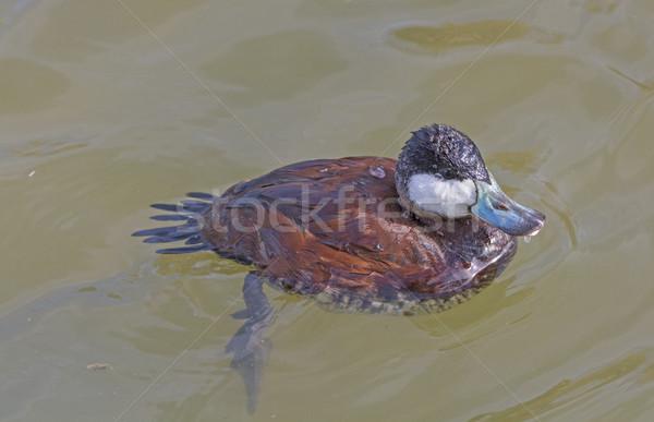 Ruddy Duck in a wetland Pond Stock photo © wildnerdpix