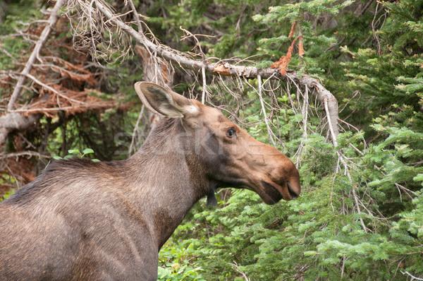 Giovani Moose boschi ghiacciaio parco Montana Foto d'archivio © wildnerdpix