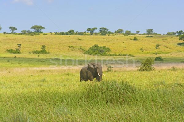 Elefante africano savana rainha parque Uganda paisagem Foto stock © wildnerdpix
