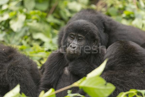 Fiatal hegy gorilla család csoport erdő Stock fotó © wildnerdpix