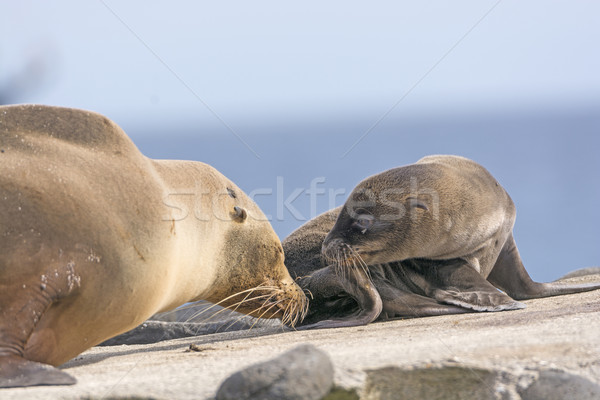 Baby and Mother Sea Lion on the Shore Stock photo © wildnerdpix
