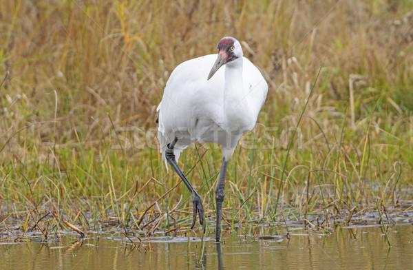 Whooping Crane on the Hunt Stock photo © wildnerdpix
