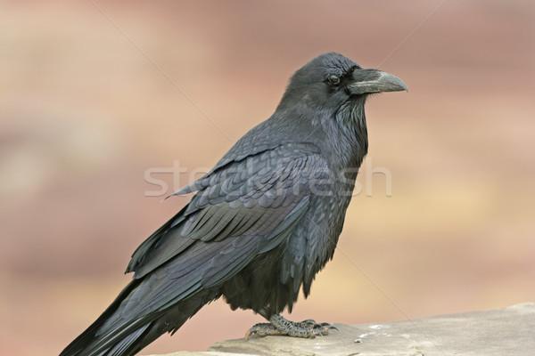 Common Raven on a Rock Ledge Stock photo © wildnerdpix
