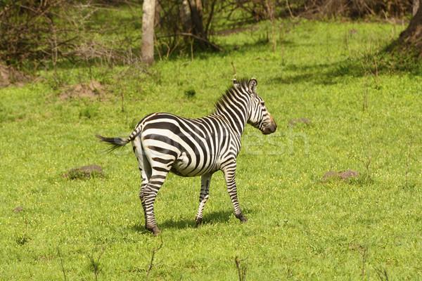 シマウマ 草原 湖 アフリカ 動物 生物 ストックフォト © wildnerdpix