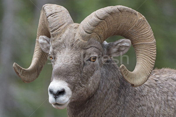 Close-up of a Big Horn Sheep Stock photo © wildnerdpix