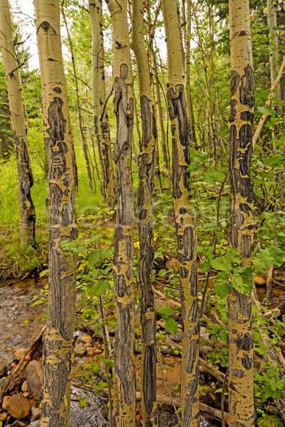 Unique Tree Bark Patterns int he Mountains Stock photo © wildnerdpix