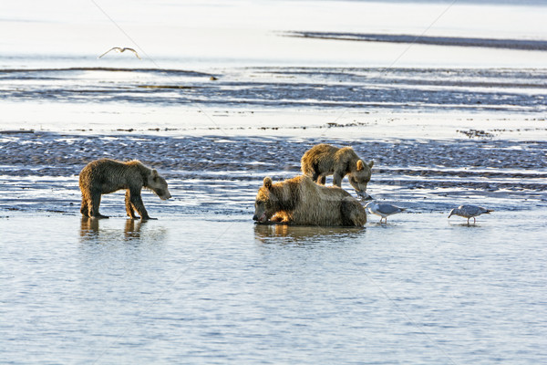 Stock photo: Mother Bear and Cubs on a Tidal Flat
