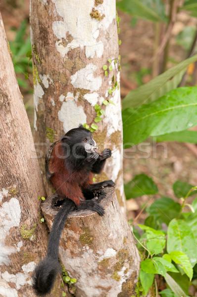 Tamarin Feeding in a Rain Forest Tree Stock photo © wildnerdpix
