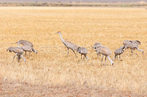Sandhill cranes feeding in a grain field Stock photo © wildnerdpix