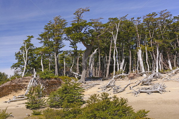 Windblown Beech Forest in the Patagonian Highlands Stock photo © wildnerdpix